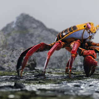Grapsus Grapsus - Sally Lightfoot Crab